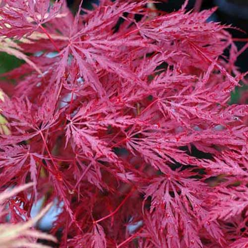 17 best images about jardin zen jardin japonais on pinterest acer palmatum rouge and astilbe - Erable rouge du japon ...