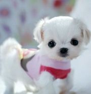 Grown Teacup Maltese Puppies for Sale Maltese puppies