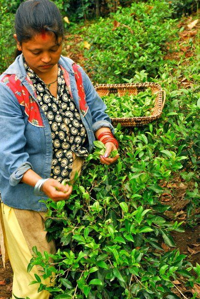 Josh Kettell took this beautiful picture of tea-plucking at the garden.