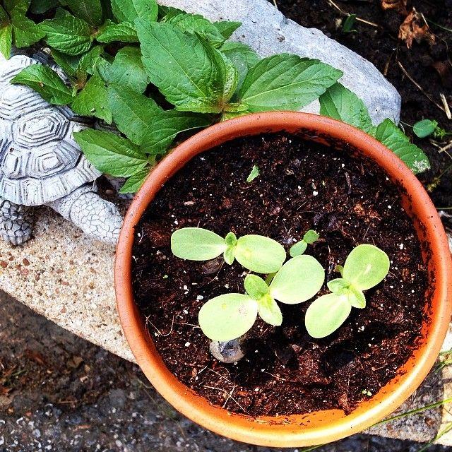 Sunflower seedlings by @gtwain via ink361.com