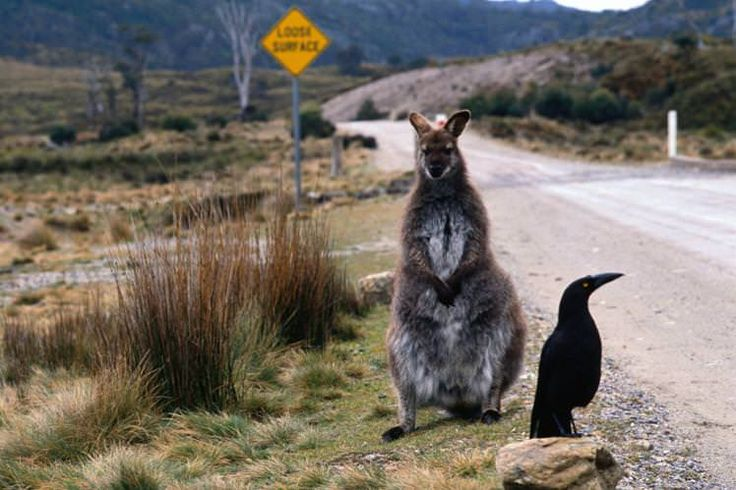 A wallaby and currawong bird perched on the side of the road / Image by Peter Hendrie / Getty Images