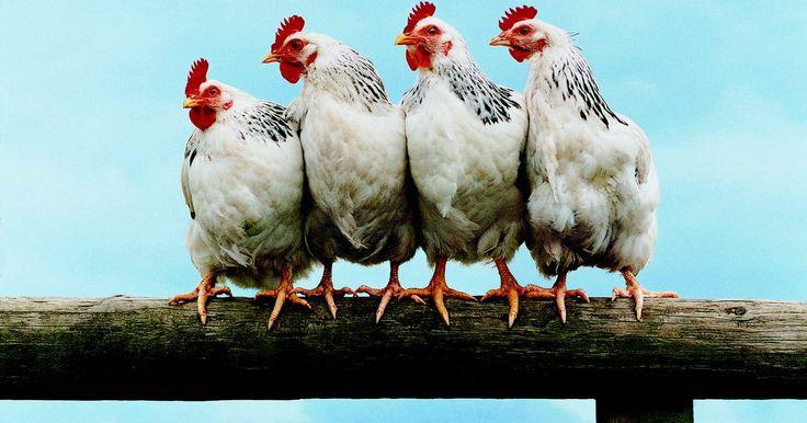 Cómo construir un gallinero en el patio trasero. Un gallinero es el lugar donde las gallinas ponen sus huevos, duermen y anidan. En vez de comprar y luego tranportar un gallinero prefabricado hasta tu casa, construye uno tú mismo y adáptalo al número de gallinas que tienes y a la cantidad de espacio que necesitas. Para construir un gallinero de alta calidad precisarás una cantidad considerable ...