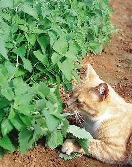 Who knew.....catnip and mints are a natural stink bug repellent!