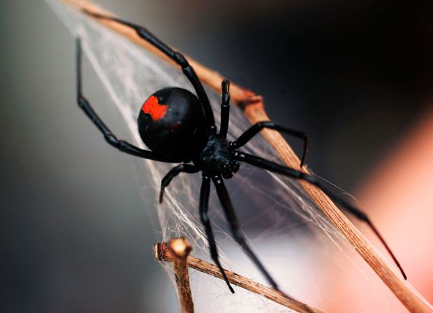 Australian spiders have a fearsome reputation, but our bees typically pose more of a threat. Here are the worst.