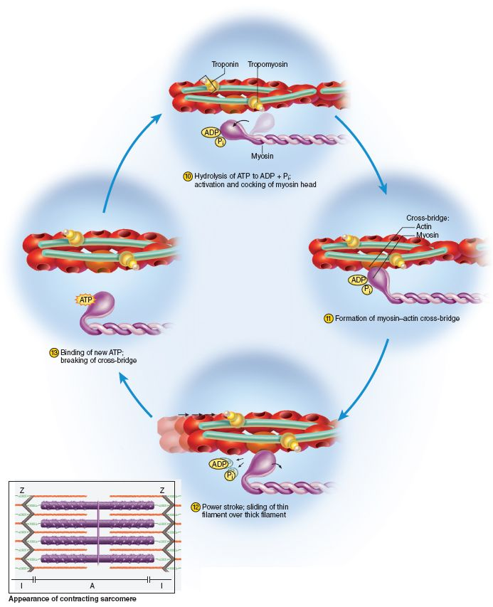 (2)... This process will happen continuously in a cycle as long as Ca+ and ATP are present. Rigor Mortis occurs after you die. The SR deteriorates andCa+ spills out, however there is a lack of ATP (because no oxygen). Ca+ causes myosin/actin attachment, but they cannot detach because of the lack of ATP.  This leaves your muscles in a permanent binding state of binding of myosin/actin.