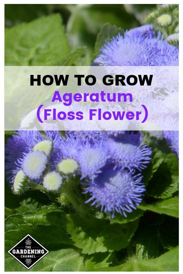 How To Grow Ageratum Floss Flower Growing Flowers Blooming Plants Flower Landscape