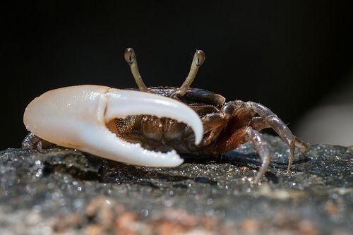 awesome Uca sp., Fiddler crab - Tarutao National Marine Park