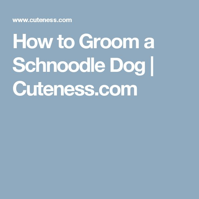 How to Groom a Schnoodle Dog | Cuteness.com