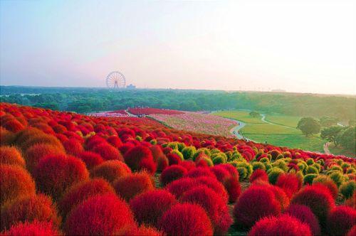 Red Hills, Hitachi Seaside Park, Japan