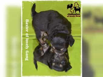 Wunderschöner typvoller Chihuahua schoko Bub sucht sein zu Hause auf LEBENSZEIT