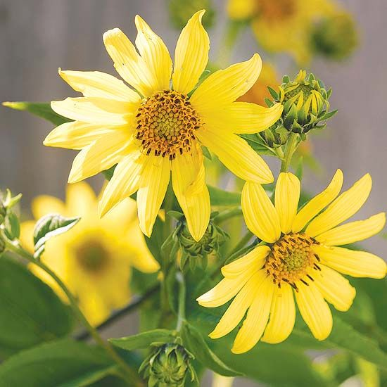 This Perennial Sunflower produces beautiful blooms in late summer and early fall! More top fall flowers: http://www.bhg.com/gardening/flowers/perennials/fall-garden-plants/?socsrc=bhgpin092213sunflower&page=5