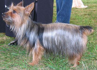 australian silky terrier dog