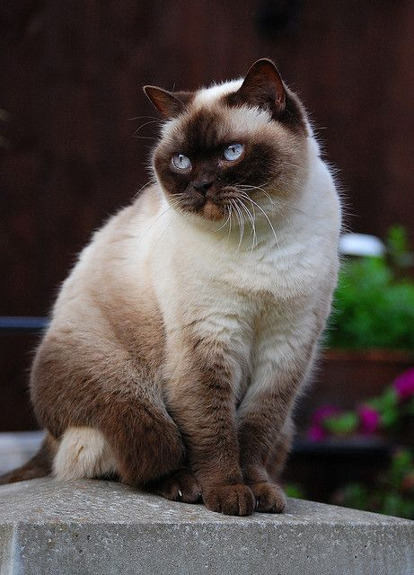 Colourpoint British Shorthair | SMOOSHY FACED CATS | Pinterest