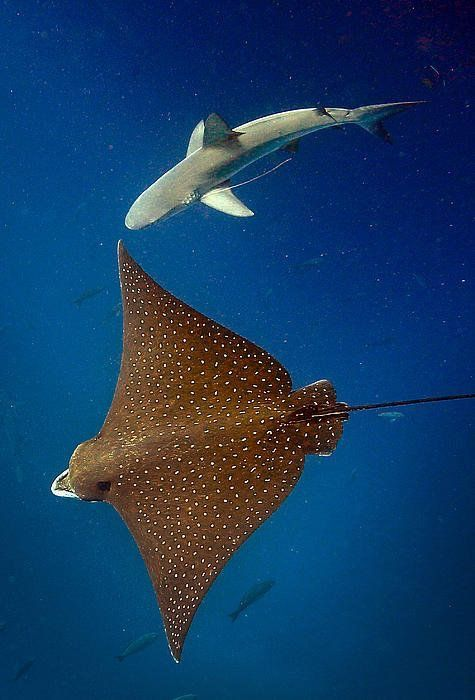 Spotted Eagle Ray And Reef Shark by Paul Kennedy