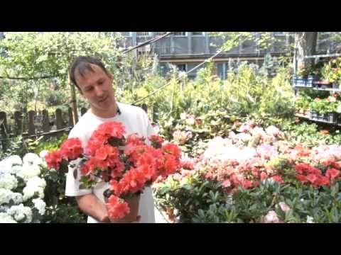 Hortenziák ,azáleák ,rododendronok tartása .mp4