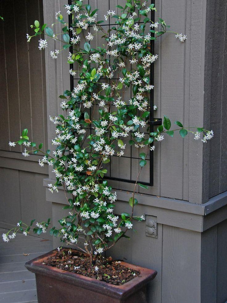 jasmine - next to eugenia trees