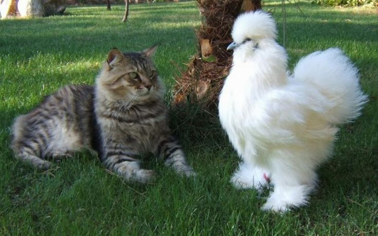 A Silkie hen, chicken or ornamental with a kitten. In Asian countries, the Silkie is well-known for its meat. In China, the flesh of Silkies is considered a delicacy and with healing qualities.