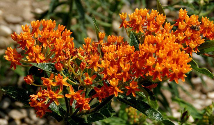 Seidenpflanze, knollige (Asclepias tuberosa) | Common names … | Flickr