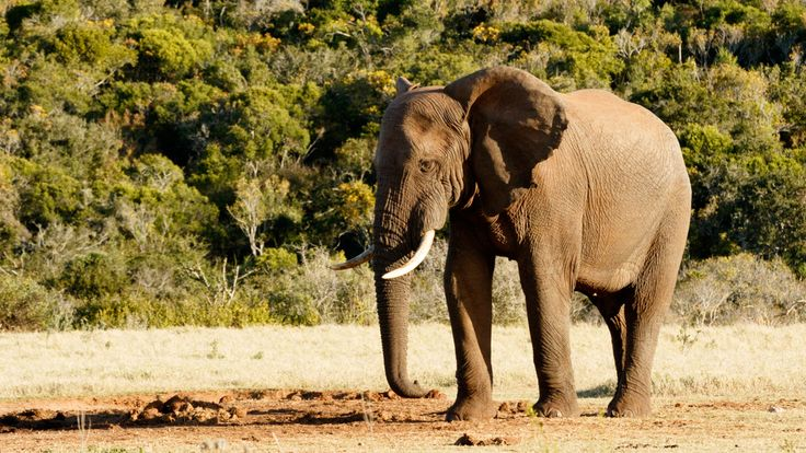 Were is my friends - African Bush Elephant Were is my friends - The African bush elephant is the larger of the two species of African elephant. Both it and the African forest elephant have in the past been classified as a single species.