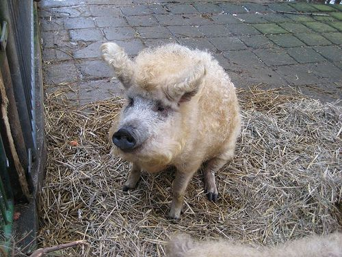 "Mangalitsas, also referred to as ""wooly pigs,"" are hardy pigs from Hungary."