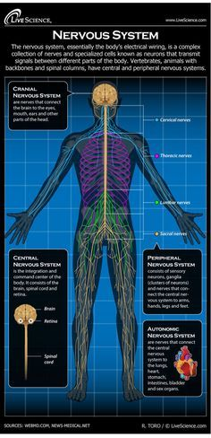 The nervous system is essentially the body's electrical wiring. The nervous system can also experience functional difficulties, conditions such as epilepsy, Parkinson's disease, multiple sclerosis, ALS, Huntington's chorea, and Alzheimer's disease. Struct