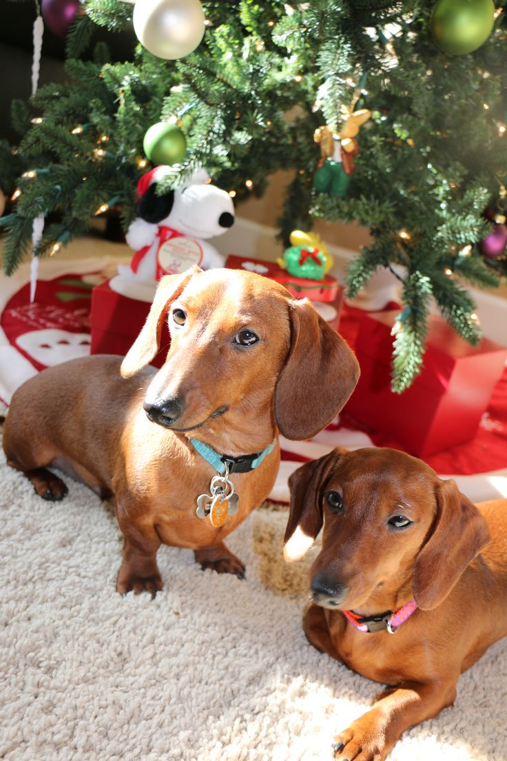 Our sweet Chloe & Chase (sister & brother Dachshunds). Red Short-haired Dachshund, Doxie, Weiner Dog, Hound, Burrow Dog, Short-legged Dog, Dachshund Christmas Photo, 6 month old Dachshunds, Grandma's Hotdogs (Dachshund Breeder in Georgia).
