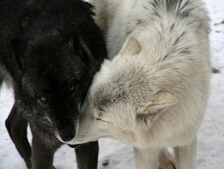 White Wolf And Black Wolf In Love Black And White Wolves...