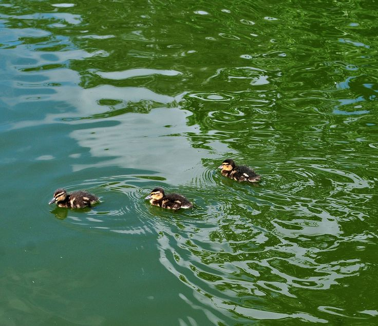 Ducklings in Spring