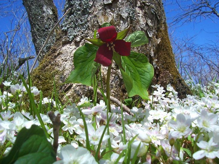 Trillium & Spring Beauties, Nova Scotia.