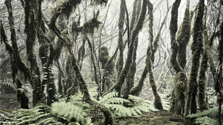 Fernando Manso. Bosque de laurisilva en Tenerife