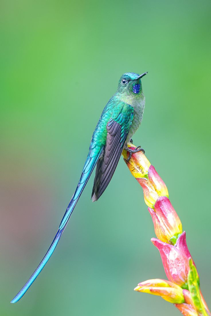 Long tailed hummingbird (Sylph) Aglaiocercus kingii macho