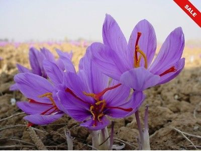 Saffron Plant (25 Bulbs)- Crocus Sativus- Grow your own plant of this rare spice