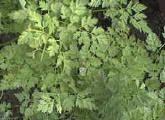 KERVEL (Anthriscus cerefolium) Kervel is een éénjarig kruid. De smaak van de geveerde blaadjes is subtiel en zacht met een lichte bijsmaak van peterselie, karwijzaad en een lichte anijstoets. Deze plant kan wel een meter hoog worden en heeft mooie witte schermbloempjes. Niet enkel het blad kan je gebruiken, de bloemen en ook de groene zaden zijn erg lekker.