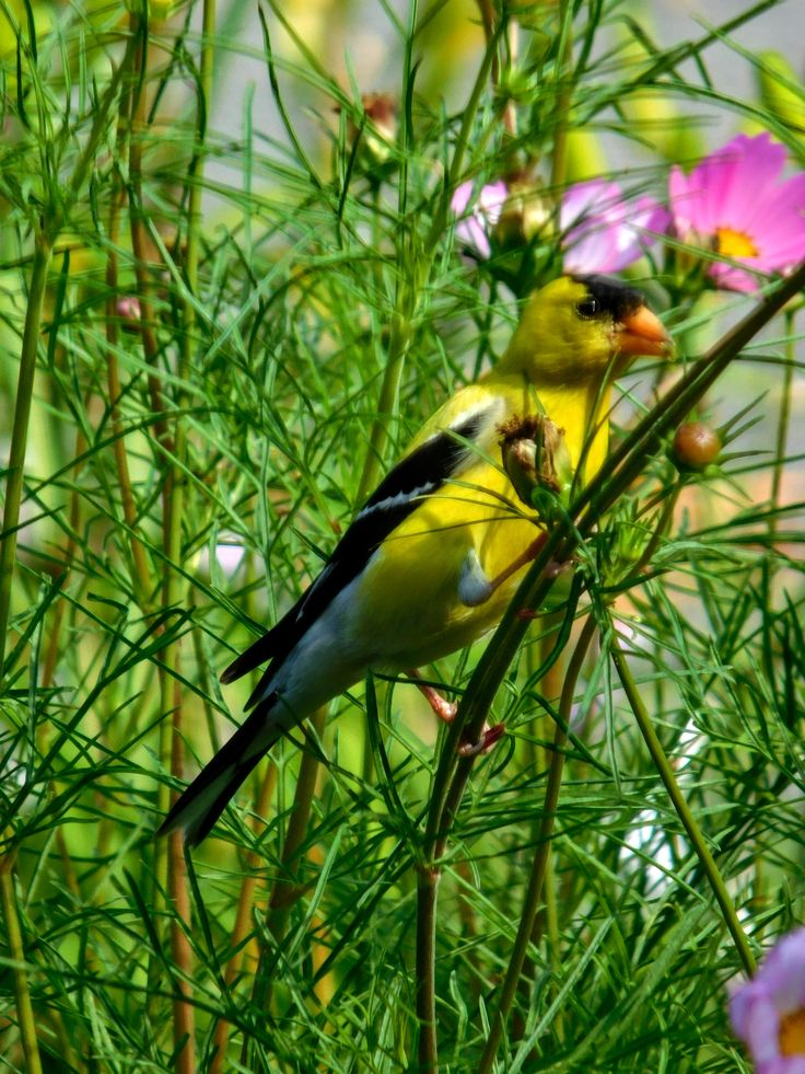 Male Goldfinch / Always attracted by July's cosmos flowers. - s.dorman's photo 2017