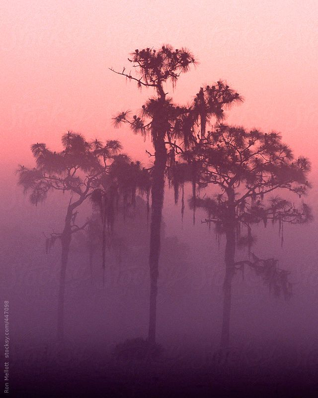 Time exposure predawn of early morning colors and mist ground fog, longleaf pines bedecked with Spanish moss in central Florida