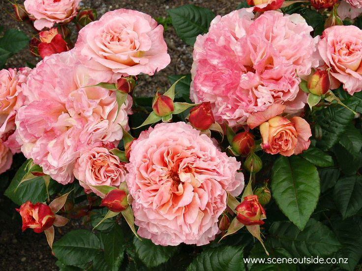 Rosa 'Hayley Westenra', described and illustrated in the plant guide of my website http://www.aboutgardendesign.com (=www.sceneoutside.co.nz)