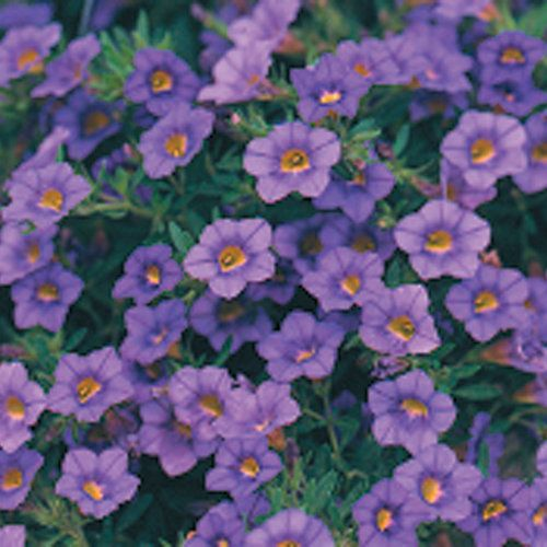 million bells trailing blue calibrachoa hybrid proven winners container spiller. Black Bedroom Furniture Sets. Home Design Ideas