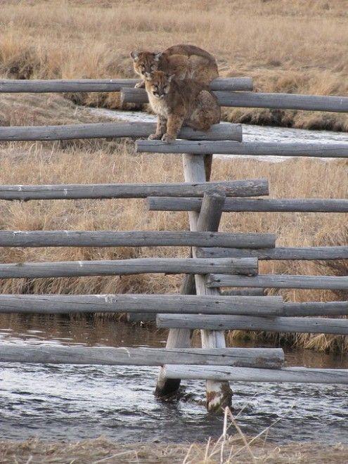 Intrappolati e assediati da cinque coyote, quasi senza via di scampo: due giovani leoni di montagna nel National Elk Refuge di Jackson, in Wyoming, se la sono vista davvero brutta. Costretti per diverse ore a rimanere in bilico su una staccionata del parco. Sotto di loro un torrente, attorno un picc
