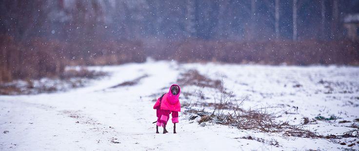 Pink jacket and pink warmer for an italian greyhound - różowa kurtka chacik włoski #italian #greyhound #clothes #italiangreyhound #italiansighthound #dogwear #iggylove #charcikwloski #chart #doglover #dog #winter