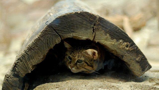 世界最小サイズ猫の クロアシネコ がめちゃめちゃカワイイ 猫の総合情報サイト ペットスマイルニュースforネコちゃん 猫 品種 猫 子猫