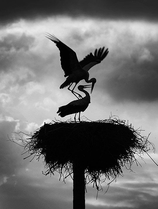 mother feeding baby - storks...these nests are huge and when we were in Denmark...many of the houses and barns had these nests on their roofs.