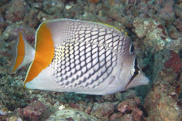荷包魚,橙尾蝶 netted butterfly fish, pearlscale butterflyfish (Chaetodon xanthurus)