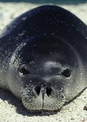 Hawaiin monk seal--in danger of extinction.