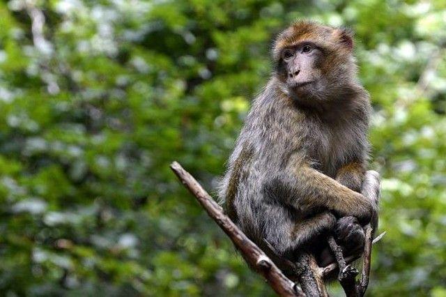 تفسير رؤية القرد في المنام أو الحلم العصيمي الغوريلا في المنام القرد القرد البني Animals Animal Attack Pet Monkey