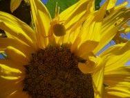 Novas portarias do Mapa orientam sobre o plantio de girassol, milho e sorgo