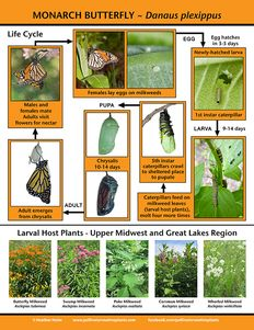 Save the Monarch with these plants - it's not all about the nectar. Host plants provide for all stages of development.