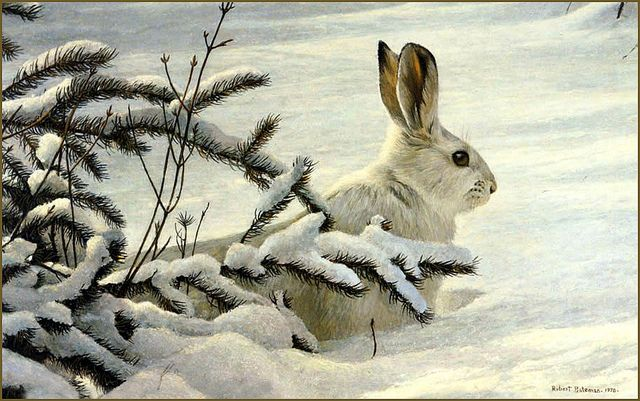 Snowshoe Hare (1976)   Robert Bateman~ I don't care what any one say, Bateman is one of the most incredible artists of today