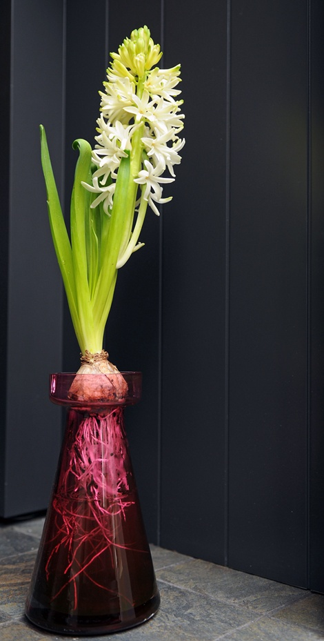 To force a hyacinth without soil, use a forcing glass to suspend the bulb over a small vase of water. When roots fill the glass and there's an inch or two of top-growth, bring it into subdued light and warmer, but still cool temperatures (about 60 degrees Fahrenheit). After 7 to 10 days, move it into bright light, but keep it as cool as you can and avoid direct sunlight. Turn it every day to keep it growing upright.