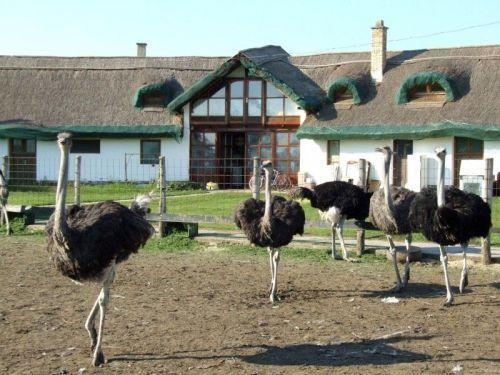 Struccfarm / Ostrich #farm Forrás/source: varosokfalvak.hu