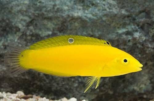 Yellow coris wrasse care yellow coris wrasse sea for Yellow saltwater fish